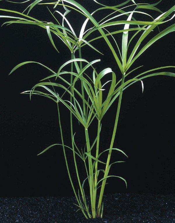 cyperusalter1.jpg