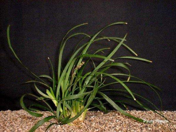 ophiopogonjaponicus101.jpg
