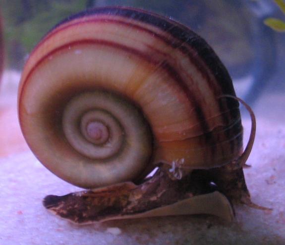 marisacornuarietis1.jpg